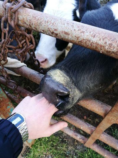 Animals Muuuuuu! Baby Beatiful Nature Human Hand
