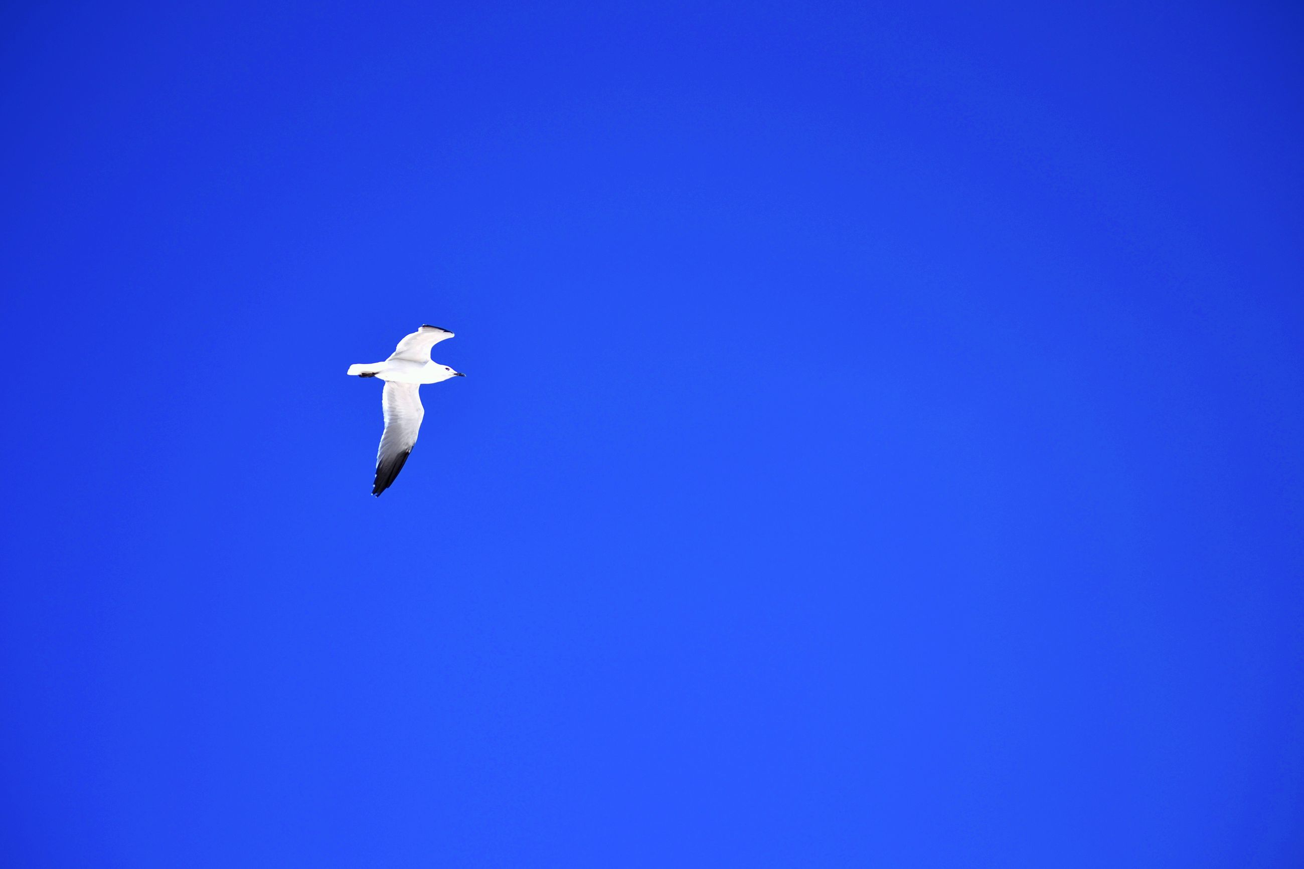 clear sky, blue, flying, copy space, low angle view, bird, animal themes, mid-air, wildlife, animals in the wild, one animal, spread wings, day, no people, outdoors, nature, on the move, transportation, seagull, flight