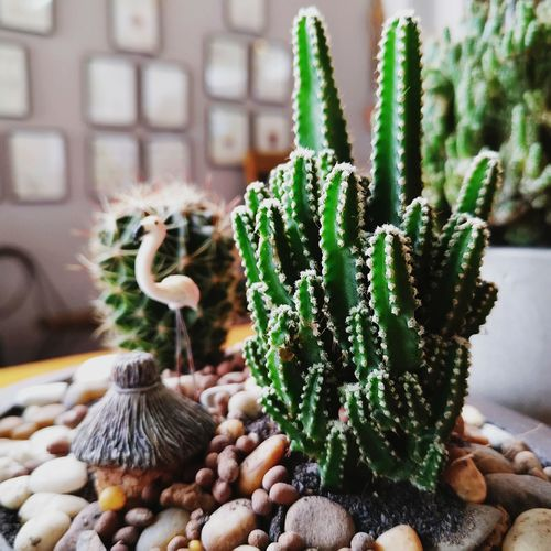 Cactus Cactus Cactus Garden Cactusplants Green Color Growth Natural Pattern Nature No People Potted Plant First Eyeem Photo EyeEmNewHere