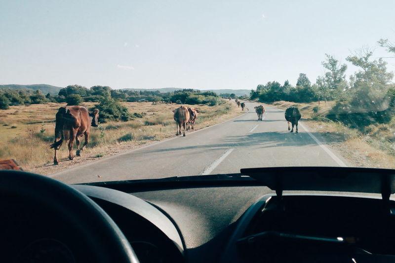 Cows walking on road seen through car
