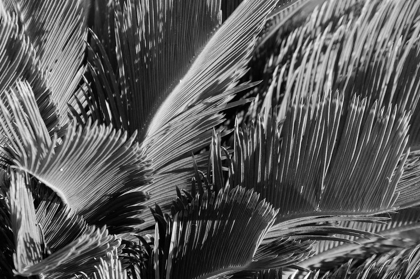 Growth Tropical Climate Plant Palm Tree No People Leaf Nature Palm Leaf Day Close-up Pattern Beauty In Nature Natural Pattern Sunlight Full Frame Outdoors Tree Plant Part