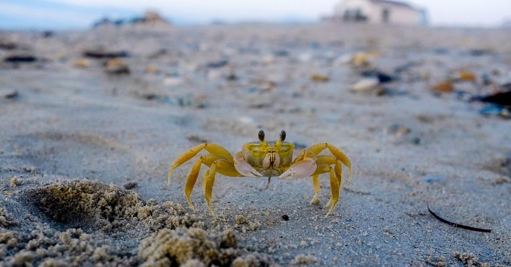 Crab North Carolina OBX