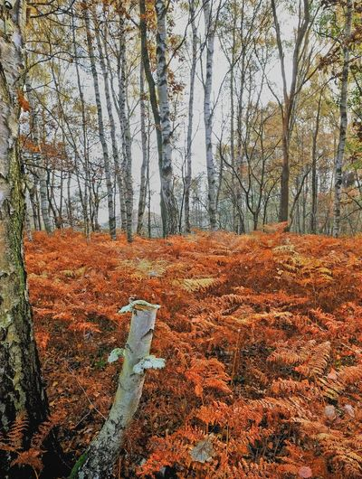 Autumn Autumn Colors Beauty In Nature Birches Birken Countryside Fall Beauty Fern Forest Photography Herbst Herbstfarben Herbststimmung Landscape Leaves Nature Outdoors Seasons Tranquil Scene Tree Tree Trunk Wald WoodLand Woods
