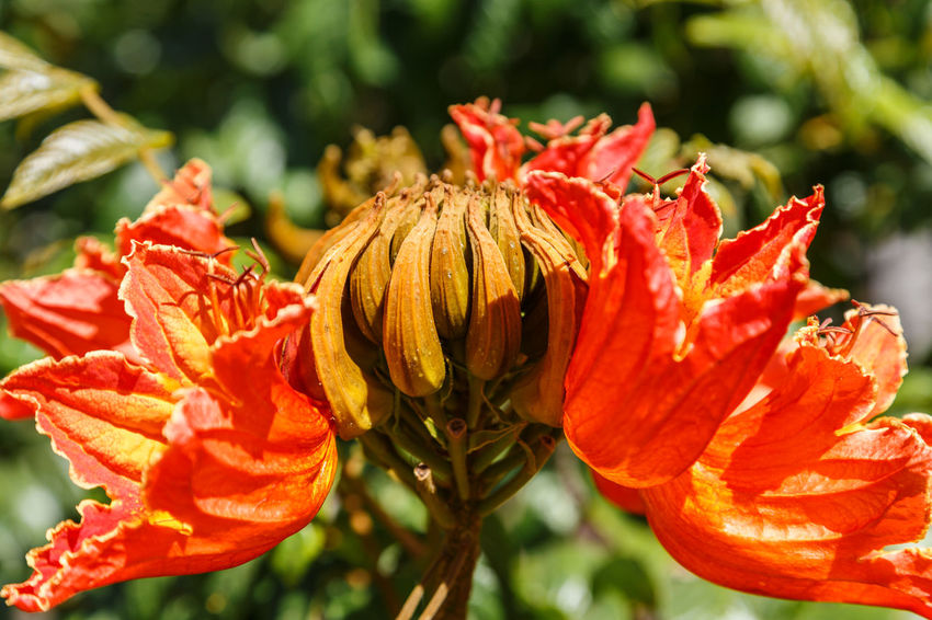 African Tuliptree Spathodea Beauty In Nature Blooming Close-up Day Flower Flower Head Focus On Foreground Fragility Freshness Growth Nature No People Orange Color Outdoors Park - Man Made Space Petal Plant Poppy Red Sunlight