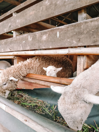 High angle view of sheep in pen