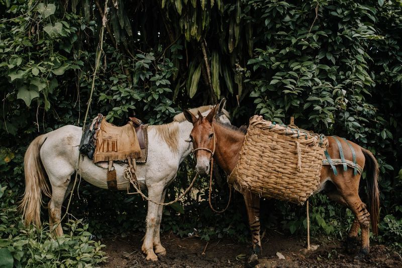 Horses Outdoors Agriculture Animal Themes Livestock No People Standing Tropical Rural Scene Mammal Day Nature Domestic Animals Horses Horse Photography  Paraty - RJ An Eye For Travel The Traveler - 2018 EyeEm Awards