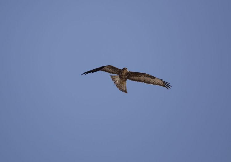 Eagle Animal Animal Wildlife Aquila Nipalensis Bird Bird Of Prey Fly Bird Fly Steppe Eagle
