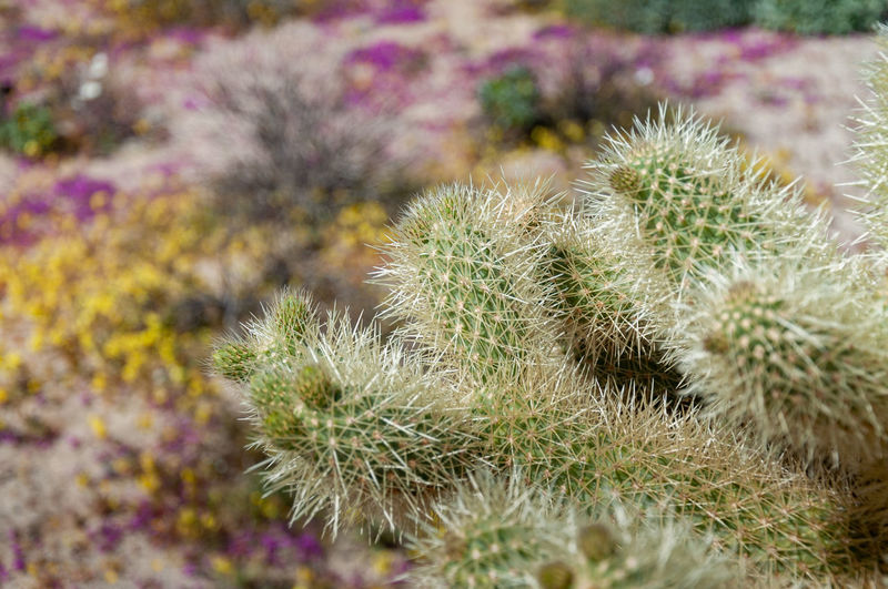 Anza Borrego Desert Flowers Plant No People Cactus Nature Close-up Growth Thorn Succulent Plant Sharp Beauty In Nature Flower Day Desert Green Color Spiked Focus On Foreground Outdoors Freshness Sign Land Spiky Arid Climate Purple Anza Borrego