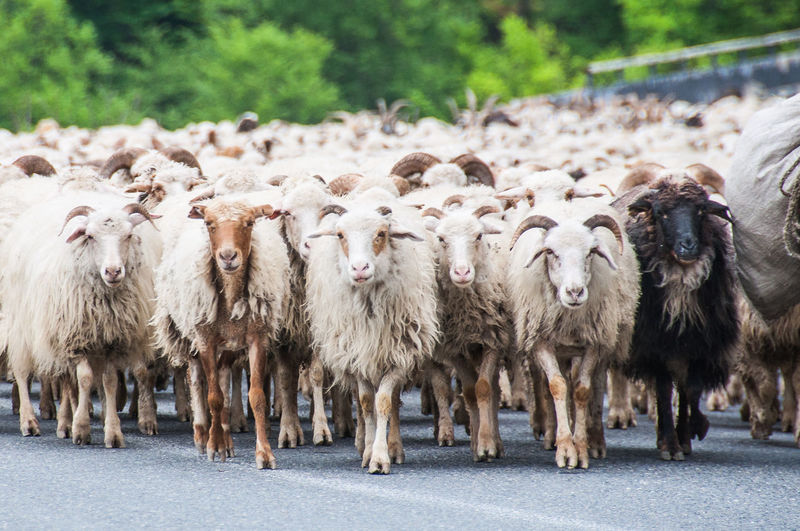 Animal Animal Themes Domestic Animals Georgia Grass Militryroad Nature One Animal Sheep Sheeps Sheep🐑 Standing Tbilisi Togetherness Walking Walking Around White Wildlife Wildlife & Nature
