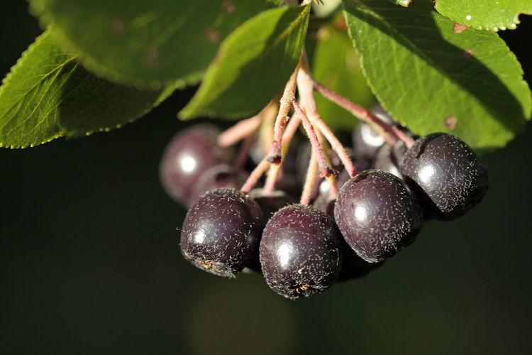 Close-up of blackberries growing on tree