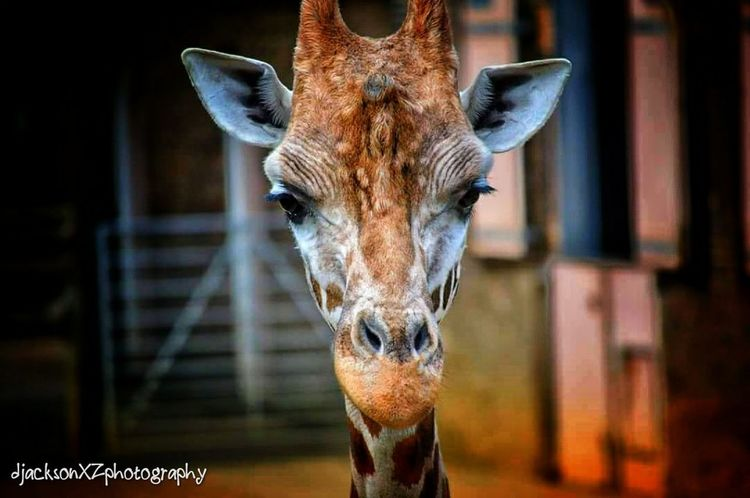 Giraffe … One Animal Animal Head  Day Animal Eye Mammal Close-up Animal Animal Themes Portrait Londonzslzoo Londonzoo Zoo Zoo Animals  Zoophotography Photography Wildlife & Nature