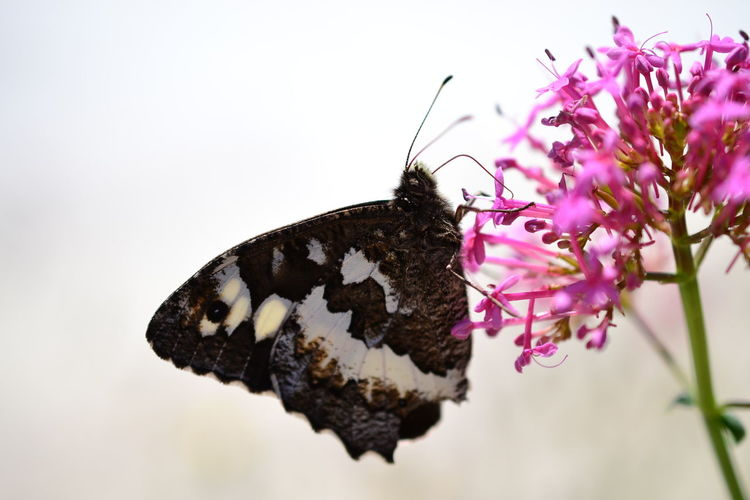 Animal Themes Animal Wildlife Animals In The Wild Beauty In Nature Beauty In Nature Butterfly Butterfly - Insect Butterfly Collection Butterfly ❤ Close-up Day Flower Flower Head Fragility Freshness Great Banded Grayling Insect Nature Nature_collection No People One Animal Outdoors White Background