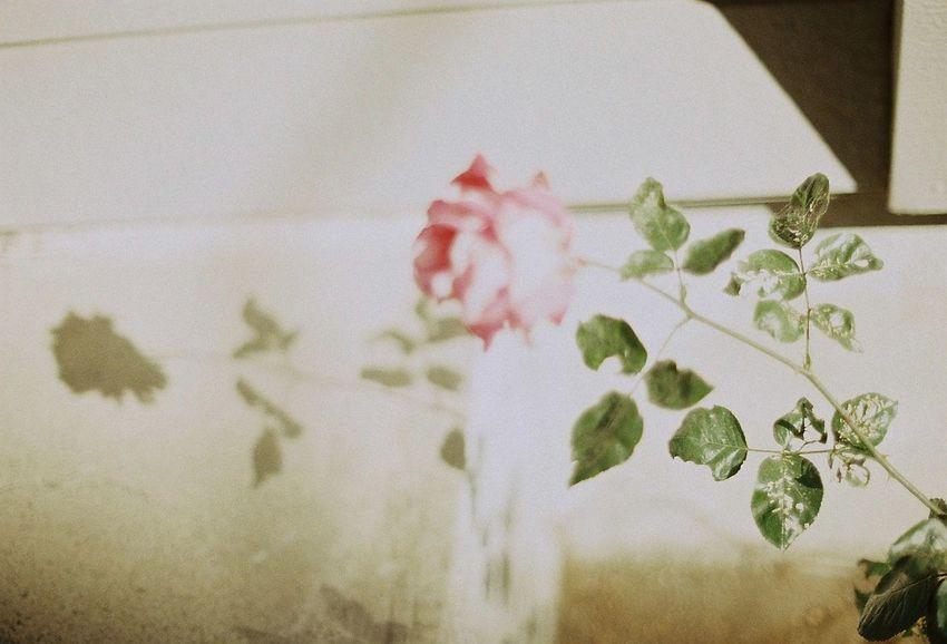 35mm Film Eyemphotography Olympus OM-1 Film EyeEm Nature Lover Flower Photo