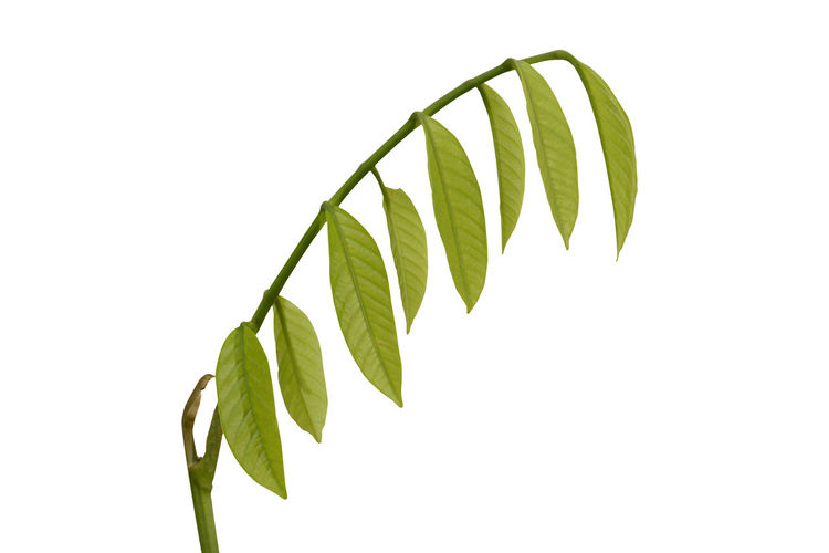 Young leaves of
