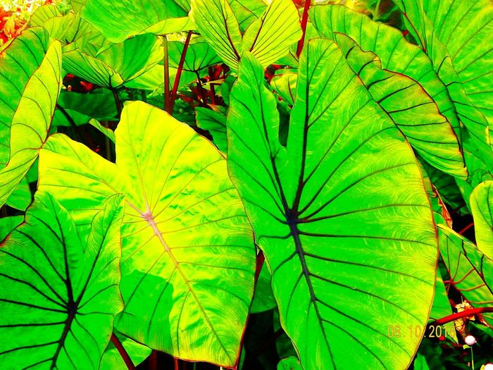 magnificent Elephant Ear Plant The Great Outdoors - 2018 EyeEm Awards TIME OUT MARKET Nature Outside Plant Life Green Green Color Plant Beauty In Nature Leaf Close-up Green Color Plant Leaf Vein Leaves Botany Greenery