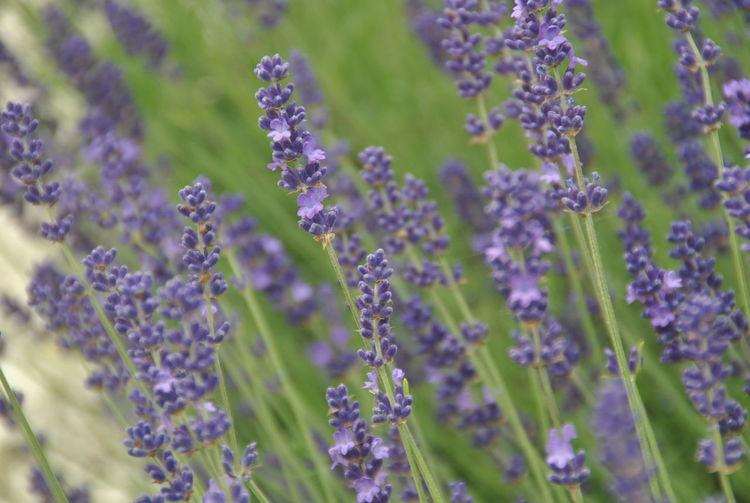 Lavenderflower