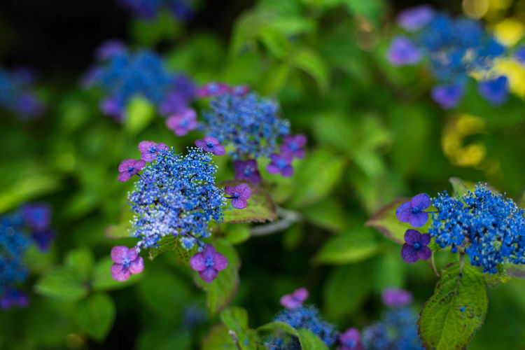 Beauty In Nature Blue Close-up Day Flower Flower Head Flowering Plant Focus On Foreground Fragility Freshness Green Color Growth Inflorescence Nature No People Outdoors Petal Plant Purple Selective Focus Summer Vulnerability  初夏 夏