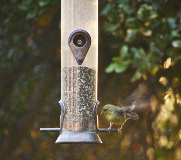 Avian Awe Inspiring Beautiful Bird Bird Feeder House Finch No People Selective Focus Yellow Breasted