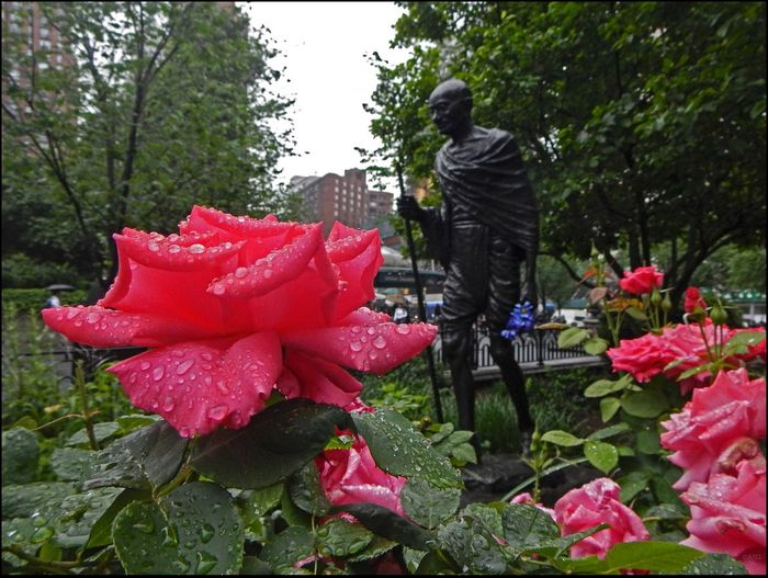 Wet Stuff #17 As I Sees It EyeEm Best Shots EyeEm StreetPhotography, NYC Focus On Foreground Fresh On Market June 2016 Gandhi Statue Historical Park, Union Sq. Outdoors Raindrops Keep Falling On My Head Rose - Flower The Photojournalist – 2016 EyeEm Awards The Street Photographer - 2016 EyeEm Awards