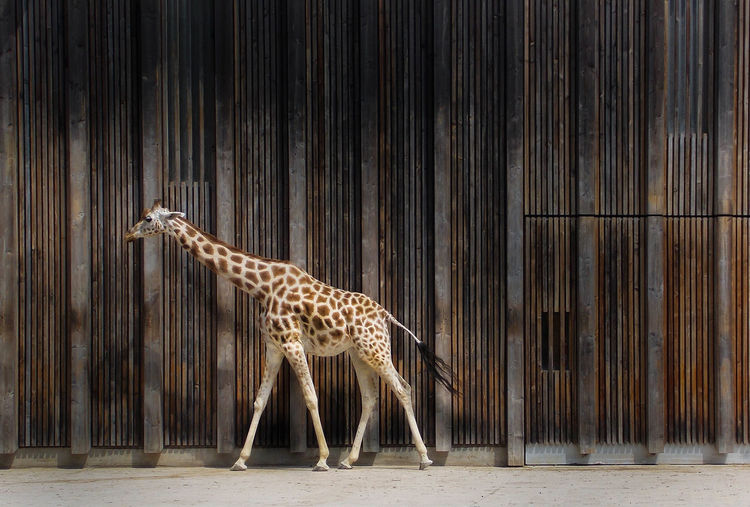 Giraffe Against Wall At Zoo