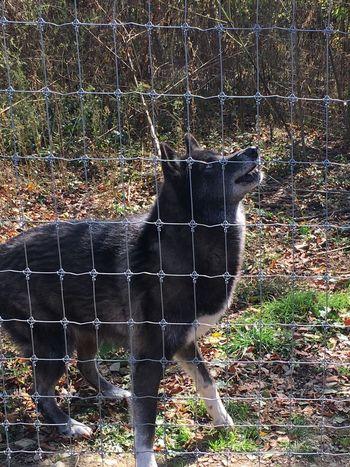 Pennsylvania Wolf Sanctuary  Fall Beauty Howl Beautiful