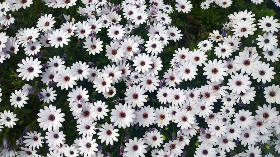 Flowers Daisies White Purple Bunch Urban Spring Fever
