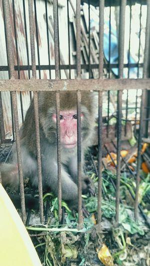 台灣獼猴的悲哀,31年的牢獄生活,放了也不會在野外生活吧… 歪歪 & 竫