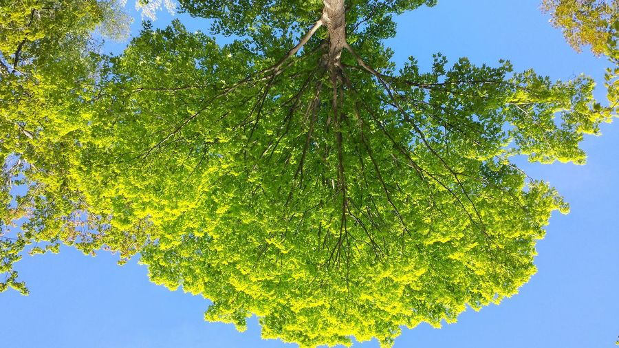 Outdoors No People Beauty In Nature Upside Down Broccoli Tree Green Leaves Maple Tree Canadian Maple Tree