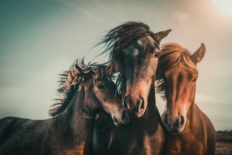 Portrait of horses standing against sky during sunset