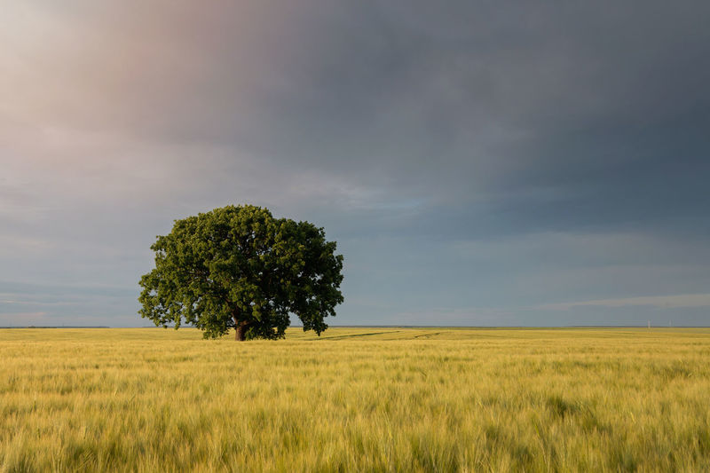 Beautiful tree in a cereal field Isolated Lonely Wheat Agriculture Cereals Field Grass Landscape Nature Outdoors Rural Scene Rye Field Scenics Tranquility Tree