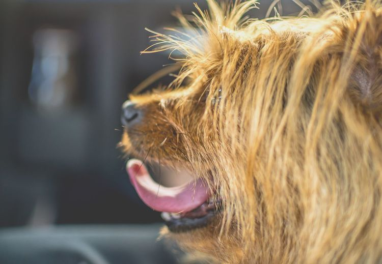 Side View Of Brown Hairy Dog