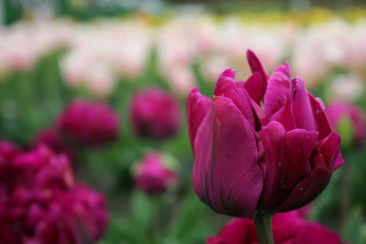 チューリップ。Showcase April EyeEm Flower Flowers EyeEm Nature Lover Spring Spring Time Bokeheffect Springfield Flower Collection Spring Colours 春 Tulips🌷 チューリップ Tulip Violet Flowers
