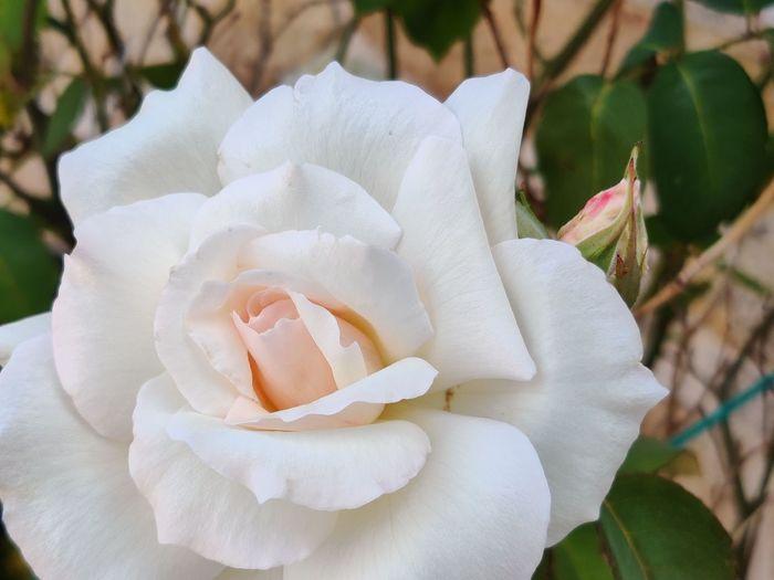 Galicia Rosé