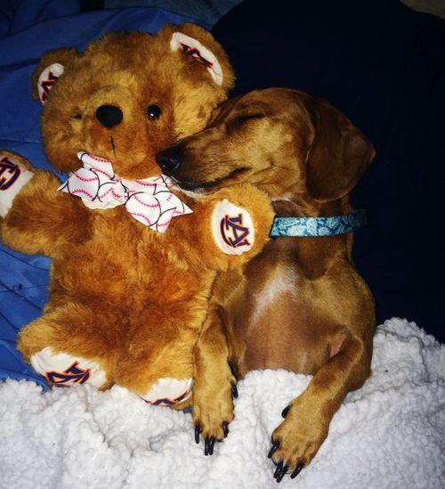 Its A Dogs Life Cuddletime Dachshund Dog❤ Dogsleeping Cuddle Buddy Teddy Bear Favorite Toy Weeniedog Weenie Dog Love