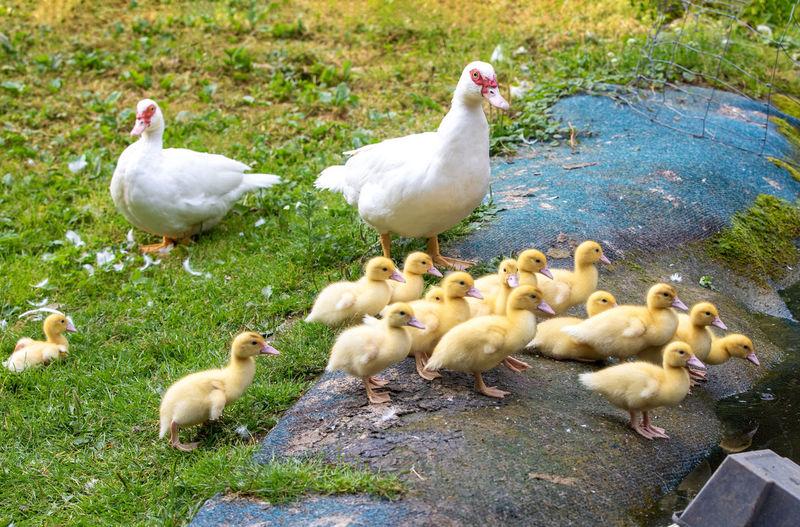 Ducks on a land