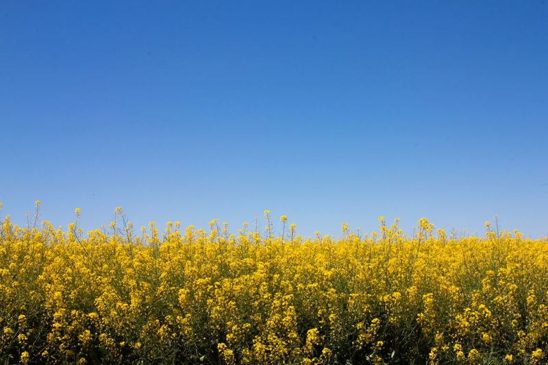 Yellow flowers growing on field against clear blue sky