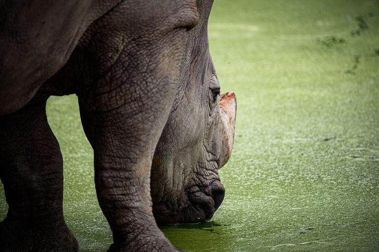 Close-up of rhino drinking water