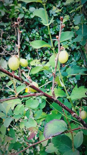 A gooseberry bush which is over 50 years old, so just think what she's been through. Nature's Beauty Amazing Gooseberry Bush Naturelovers Enjoy The Gooseberry Bush EyeEm Nature Lover EyeEm Best Shots - Nature Check This Out