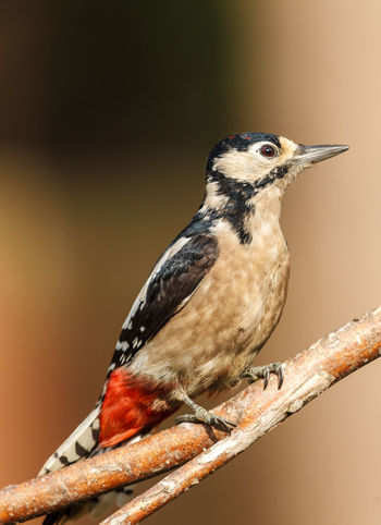 The great spotted woodpecker is a bird species of the woodpecker family. Animal Wildlife Animals In The Wild Beauty In Nature Bird Bird Photography Dendrocopos Dendrocopos Major Europe Greater Spotted Woodpecker Nature Photography Perching Surrey Uk Wildlife Wildlife & Nature Wildlife Photography Woodpecker