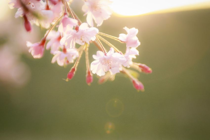 Flower Flowering Plant Plant Freshness Fragility Beauty In Nature Pink Color Vulnerability  Growth Close-up Petal Flower Head Nature Focus On Foreground Tree Inflorescence No People Blossom Springtime Day