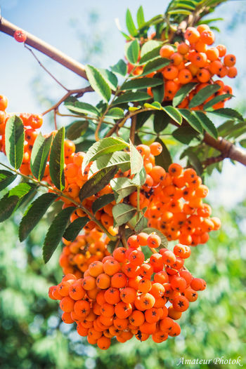 рябина дерево ягоды мои фото учусьфотать Berry MyPhotography фотолюб Likeforlike Vscocam