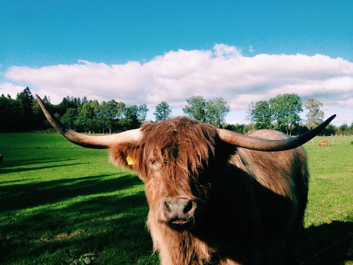 EyeEm Selects One Animal Mammal Animal Themes Domestic Animals Livestock Domestic Cattle Field Cattle Horned Cloud - Sky Cow Grass Nature Highland Cattle No People Sky Day Tree Outdoors Standing