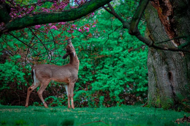 A young deer reaching up to bite the flowers and leaves off of a tree in spring