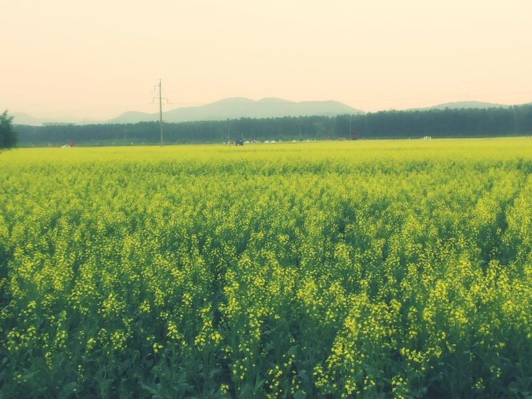 油菜花田 Scenery Of The Town Scenery Greenery Rape Seed Fields