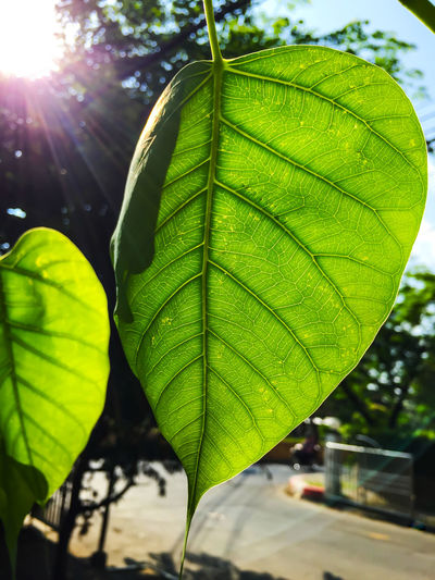 Bodhi green leaf with sunlight photosynthesis Bodhi Tree Bodhitree Photosynthesis Beauty In Nature Bodhi  Bodhi Leaf Close-up Day Fragility Freshness Green Color Growth Leaf Lens Flare Nature No People Outdoors Plant Sun Sunlight Tree Water
