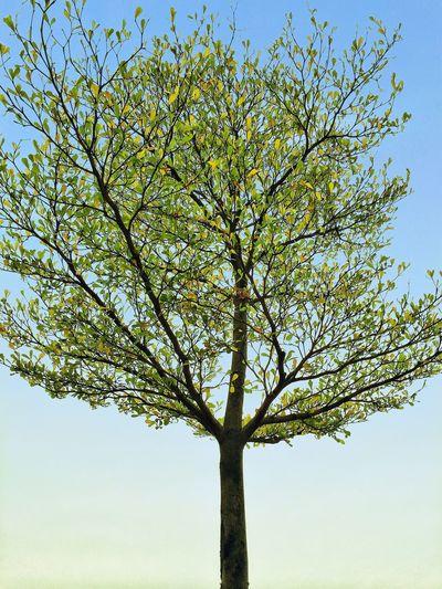 美景就在身边 Nature Tree Low Angle View Sky No People Growth Outdoors Beauty In Nature Tranquility Scenics Day Branch Mobile Conversations