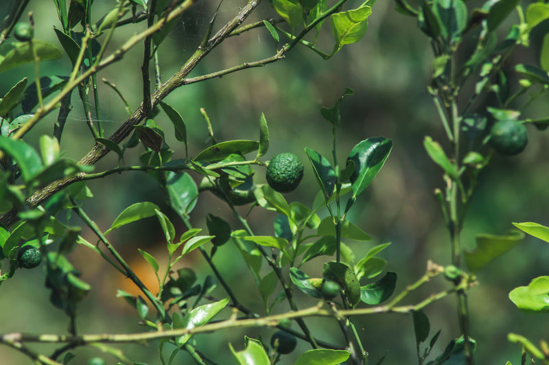 Beauty In Nature Branch Close-up Day Focus On Foreground Freshness Fruit Fruits Green Color Growth Leaf Lime Nature No People Outdoors Plant Plant Part