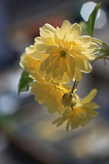 Bansiaa yellow flowers Banksia Banksia Flower Banksia Flowers Copy Space Rose Branch Sunlight Yellow Flower Banksiae Roses Banksiarose Beauty In Nature Blooming Blurred Background Close-up De Flower Flower Head Focus On Foreground Fragility Freshness Outdoors Petal Spring Spring Flowers Yellow Yellow Roses