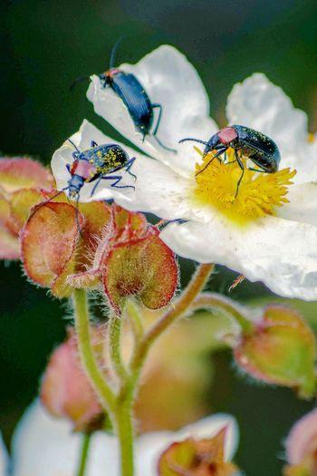 Beetles Beetle