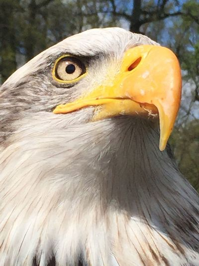 Eagle Bird Close-up Eagle - Bird Iphoneonly Beautiful EyeEmNewHere Beauty In Nature Incredible Bird IPhoneography Predator Feathers Live For The Story Pet Portraits The Portraitist - 2018 EyeEm Awards